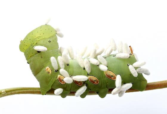 Eumorpha pandorus caterpillar parasitized by Cotesia congregata - Eumorpha pandorus