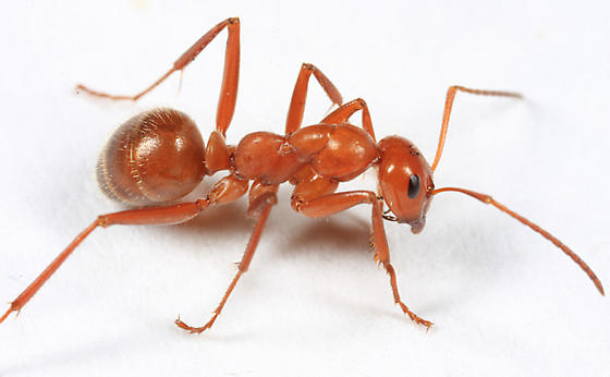 tan ant - Formica dolosa