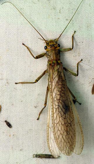 Largish Stonefly - Acroneuria