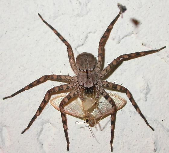 Selenops insularis - female