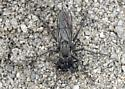 Gray-on-gray robber fly - Lasiopogon drabicola