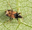 Anthocoridae - Calliodis temnostethoides