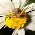 Thomisidae - Xysticus