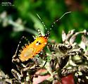 Assassin Bug - Pselliopus cinctus