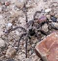 Is this the wolf spider (Arctosa littoralis)? - Alopecosa