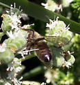 Dark Honeybee, or Something Else? - Apis mellifera