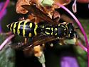 Yellowjacket wasp - Polistes dominula - female