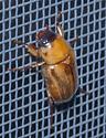 Junebug? - Cyclocephala