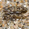 Cryptic beach flies - Anorostoma maculatum - male - female