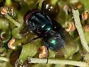 Cochliomyia - Screwworm Fly (?) - Cochliomyia macellaria - male