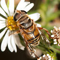 Syrphid Fly - Palpada vinetorum