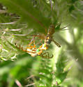 fly - Terellia palposa