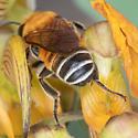 Megachile lanata leafcutter (Woolly wall bee)? - Megachile lanata - male