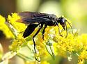 wasp - unident - Sphex pensylvanicus - female