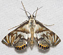 Scrollwork Pyralid Moth - Hodges#4743 - Neocataclysta magnificalis