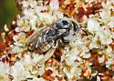 Bee on Buckwheat - Diadasia