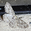 Small Engrailed - Ectropis crepuscularia
