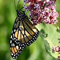 Monarch July MN - Danaus plexippus