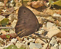 Butterfly 442A 8737 - Cercyonis