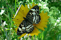 Butterfly - Chlosyne nycteis - female