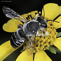 Unknown Megachile - Megachile