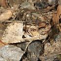 Owlet Moth - Meropleon diversicolor