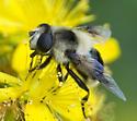 light-yellow syrphid fly? - Eristalis anthophorina