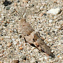 Desert Grasshopper - Trimerotropis pallidipennis - female