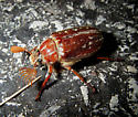 Beetle Unusual Antennae - Polyphylla variolosa