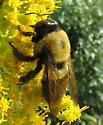 Big Bee - Xylocopa virginica