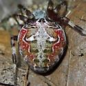 Spider 91 - Dorsal - Metepeira labyrinthea