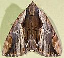 Underwing moth Catocala ultronia possibly ??? - Catocala ultronia