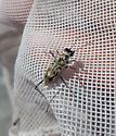 Cicindela sp.? - Habroscelimorpha dorsalis