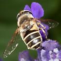 Fly? - Eristalis hirta - female