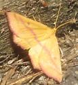 Chickweed geometer? - Haematopis grataria - male