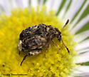 Beetle - Gibbobruchus mimus