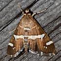 Beet Webworm Moth - Spoladea recurvalis