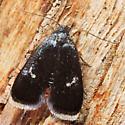moth - Menesta tortriciformella