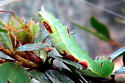 Saddle Prominent Caterpillar Prey of Eremnophila  aureonotata Wasp - Heterocampa guttivitta