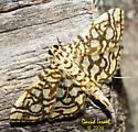 Moth - Lygropia rivulalis