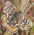 Crescent - Phyciodes orseis - Phyciodes pulchella - female