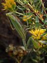 European Mantis? - female