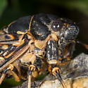 Unknown Cicada - Okanagana canadensis