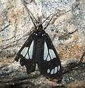 moth - Gnophaela discreta
