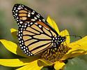 Monarch Butterfly - Danaus plexippus