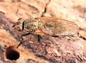 fly - Delia platura - female