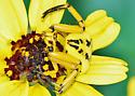 White Banded Crab Spider - Misumenoides formosipes - female