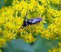Possibly a Masked Bee - Lasioglossum