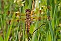 DragonflyPaintedSkimmer_Libellula_semifasciata05092017 - Libellula semifasciata - female