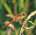 Sympetrum costiferum ?